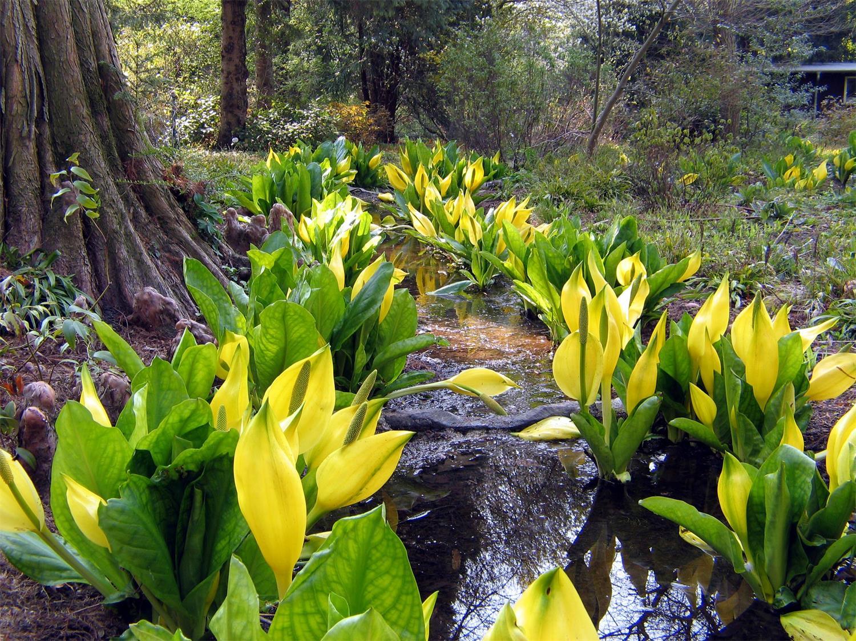 Botanischer Garten Frankfurt: Nordamerika mit Stinktierkohl